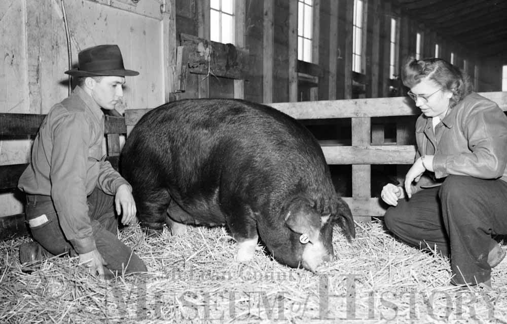 Thelma Thomas and her brother Glenn examine her grand champion gilt at the Illinois State Normal University Farm.